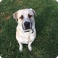 Adopt A Pet :: Bubba - McKinney, TX