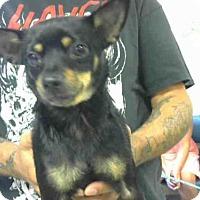 Adopt A Pet :: BELLA - Louisville, KY
