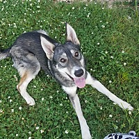 German Shepherd Dog/Husky Mix Dog for adoption in East Hartford, Connecticut - Sky pending adoption