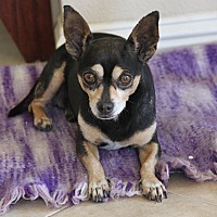 Chihuahua Dog for adoption in Hollister, California - Marvin