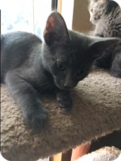 Russian Blue Kitten for adoption in Kennedale, Texas - Marco