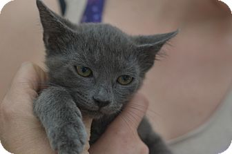 American Shorthair Kitten for adoption in Brooklyn, New York - Blue