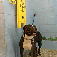 Pit Bull Terrier Mix Dog for adoption in San Bernardino, California - URGENT NOW!  San Bernardino