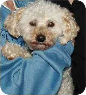 Poodle (Miniature) Mix Dog for adoption in Homer, New York - Mitzi