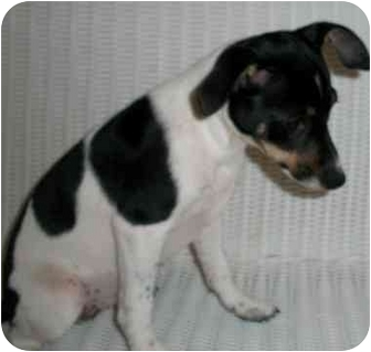 Fox Terrier (Smooth)/Rat Terrier Mix Puppy for adoption in Slidell, Louisiana - Rhea