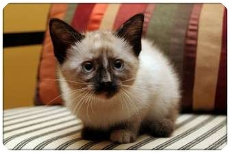 Siamese Kitten for adoption in Sterling Heights, Michigan - Sasha - ADOPTED!