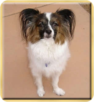 Papillon Mix Dog for adoption in Scottsdale, Arizona - Charlie
