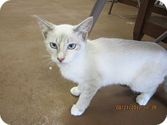 Siamese Kitten for adoption in Bunnell, Florida - Sugar