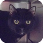 Domestic Shorthair Cat for adoption in Wheaton, Illinois - Phoebe