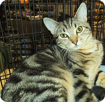 Domestic Shorthair Cat for adoption in Bear, Delaware - DD Bunch