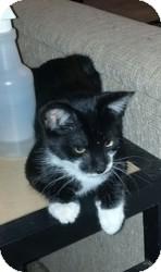 Domestic Shorthair Kitten for adoption in Coppell, Texas - Finn