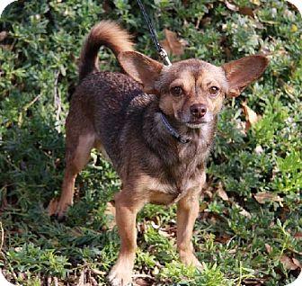 Chihuahua Dog for adoption in Gilbert, Arizona - Ripley