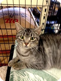 Domestic Shorthair Cat for adoption in Wilmington, Delaware - Stardust