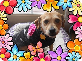 Terrier (Unknown Type, Small)/Jack Russell Terrier Mix Dog for adoption in Paris, Illinois - Matti