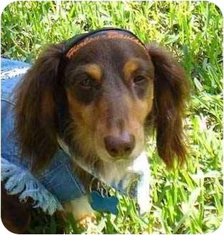 Dachshund Dog for adoption in Colleyville, Texas - Jamie