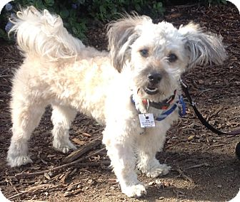 Shih Tzu/Poodle (Miniature) Mix Dog for adoption in Poway, California - ARCHIE