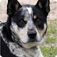 Adopt A Pet :: Maxwell Smart - Siler City, NC