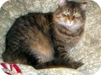 Maine Coon Cat for adoption in Baltimore, Maryland - Oscar