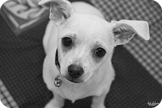 Chihuahua Mix Puppy for adoption in Charlotte, North Carolina - Raspberry (Fruit Litter)