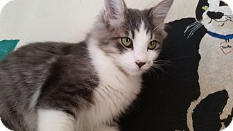 Domestic Shorthair Cat for adoption in Mountain Center, California - Aurora
