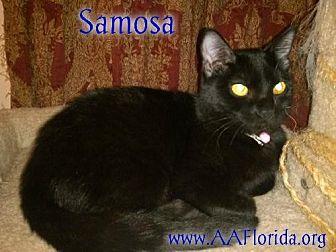 Bombay Cat for adoption in Pensacola, Florida - Samosa