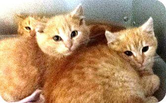Domestic Shorthair Kitten for adoption in Concord, Ohio - Orange kitties