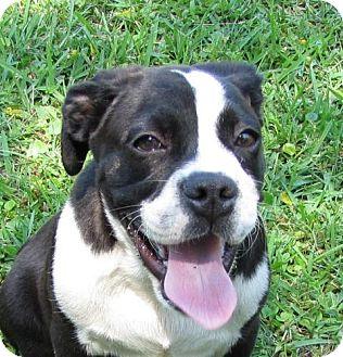 Boston Terrier/Beagle Mix Puppy for adoption in Port St. Joe, Florida - Anakin