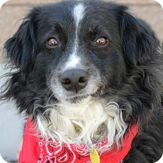 Border Collie Mix Dog for adoption in Denver, Colorado - Zume
