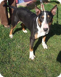 Bull Terrier Dog for adoption in Lititz, Pennsylvania - Merrick