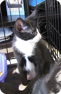Domestic Shorthair Kitten for adoption in bloomfield, New Jersey - Willy