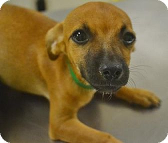 Chihuahua Mix Puppy for adoption in Meridian, Idaho - Barb