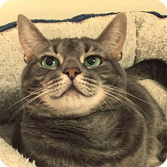 American Shorthair Cat for adoption in Brooklyn, New York - Clementine