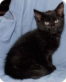 Domestic Shorthair Kitten for adoption in Batavia, Ohio - Severus