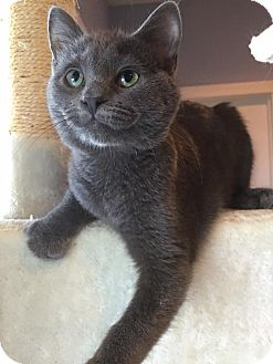 Russian Blue Kitten for adoption in Anderson, South Carolina - Capone