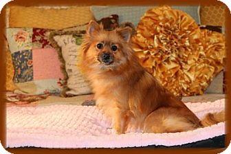 Pomeranian Dog for adoption in Dallas, Texas - Twinkie