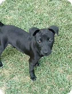 Dachshund/Terrier (Unknown Type, Small) Mix Puppy for adoption in West Springfield, Massachusetts - Andy