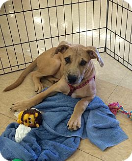 Catahoula Leopard Dog Mix Puppy for adoption in Smithtown, New York - Isaiah