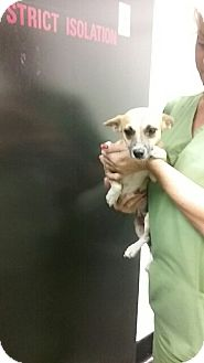 Chihuahua Dog for adoption in Barnwell, South Carolina - Renee