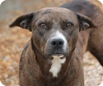 Terrier (Unknown Type, Medium)/Boxer Mix Dog for adoption in Hooksett, New Hampshire - Fineena