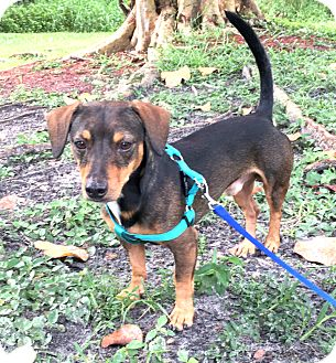 Dachshund Mix Dog for adoption in Boca Raton, Florida - Maximus