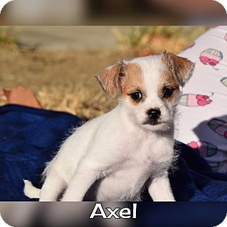 Terrier (Unknown Type, Small) Mix Puppy for adoption in Rosamond, California - Axel