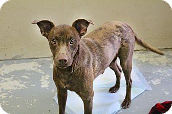 Labrador Retriever Mix Dog for adoption in Shreveport, Louisiana - Neenon