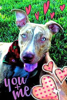 Terrier (Unknown Type, Medium)/Labrador Retriever Mix Puppy for adoption in Miami, Florida - Honey