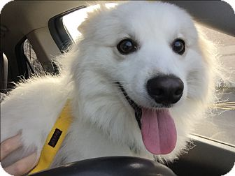 American Eskimo Dog Dog for adoption in Newtown, Connecticut - Juno