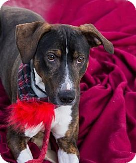 Catahoula Leopard Dog Mix Dog for adoption in Lowell, Massachusetts - Gunner
