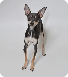 Miniature Pinscher/Chihuahua Mix Dog for adoption in Fruit Heights, Utah - Charlie