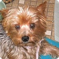 Adopt A Pet :: Amberly - Brunswick, ME