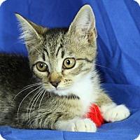 Adopt A Pet :: Donut - Winston-Salem, NC