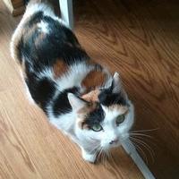 Adopt A Pet :: Calli - Elk Grove Village, IL