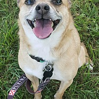 Adopt A Pet :: Coco - Bloomington, IL